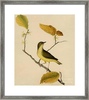 Connecticut Warbler Framed Print