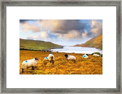Connemara Sheep Grazing Over Killary Fjord Framed Print by Mark E Tisdale