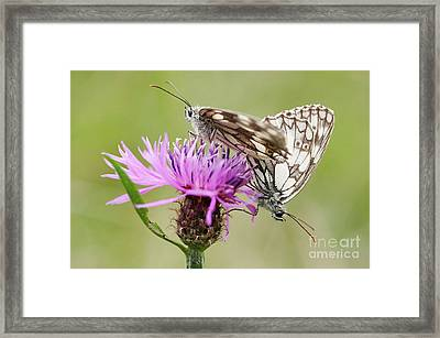 Contact - Butterflies On The Bloom Framed Print by Michal Boubin
