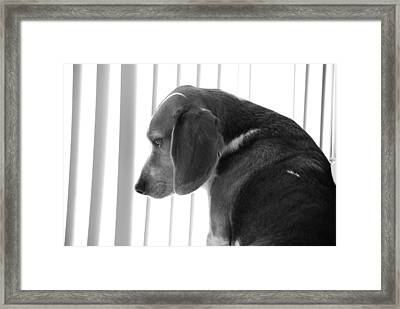 Contemplative Beagle Framed Print by Jennifer Ancker
