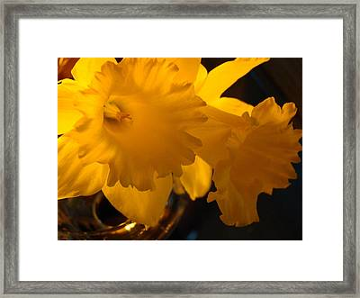 Contemporary Flower Artwork 10 Daffodil Flowers Evening Glow Framed Print by Baslee Troutman