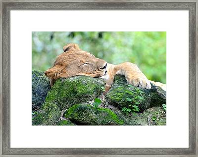Contented Sleeping Lion Framed Print