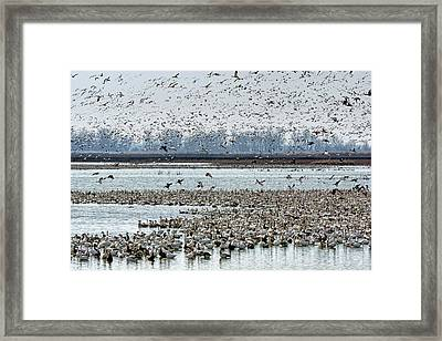 Controlled Chaos - Snow Geese Framed Print by Nikolyn McDonald