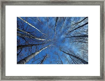 Converging White Birches Framed Print