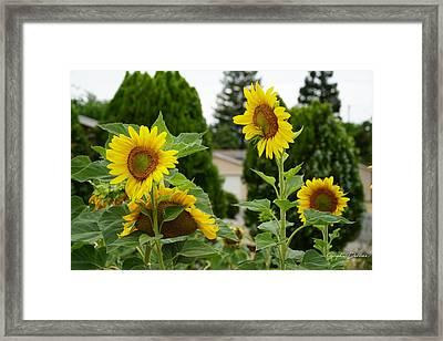 Conversing Sunflowers Framed Print