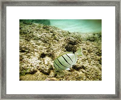 Convict Tang Framed Print by Michael Peychich