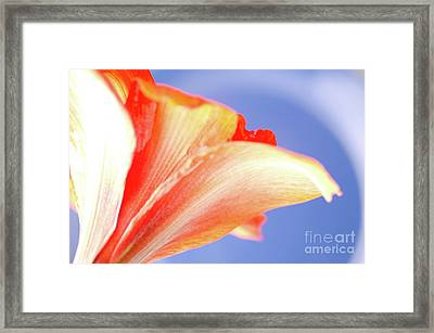 Cool Amaryllis Red Amaryllis On A Cool Halo Background Framed Print by Andy Smy