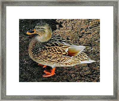 Framed Print featuring the photograph Cool Duck by Roger Bester