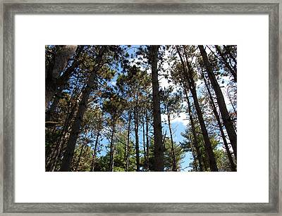 Cool Pines Framed Print by Daniel Ness