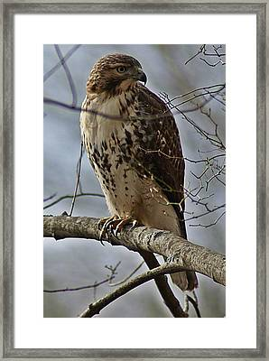 Cooper's Hawk 2 Framed Print