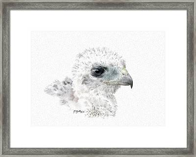 Coopers Hawk Chick Framed Print