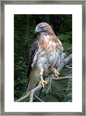 Coopers Hawk Framed Print