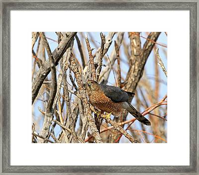 Framed Print featuring the photograph Cooper's Hawk by Donna Kennedy
