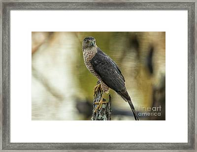 Cooper's Hawk Framed Print by Geraldine DeBoer