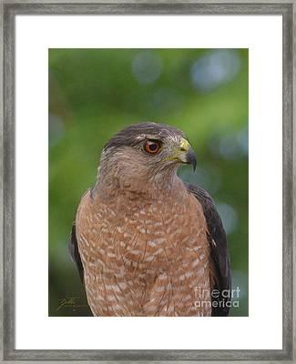 Cooper's Hawk II Framed Print