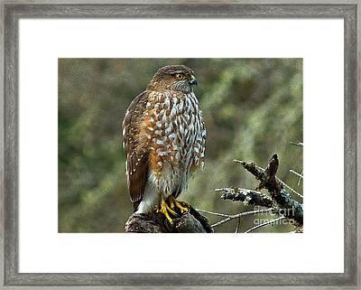 Coopers Hawk Framed Print by Julia Hassett