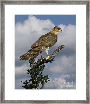 Cooper's Hawk On Watch Framed Print