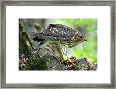 Coopers Hawk Framed Print by Timothy McIntyre