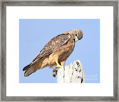 Coopers Hawk With Meal Framed Print