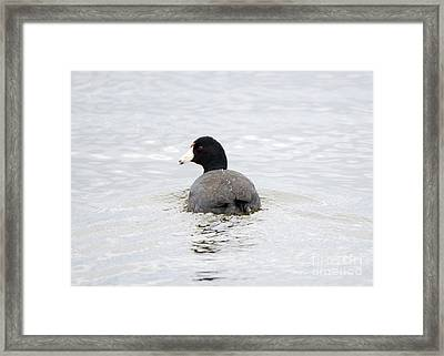 Coot Framed Print by Mike Dawson