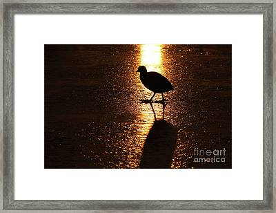 Coot Walks On Golden Ice  Framed Print