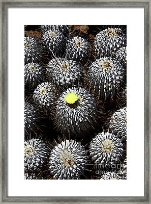 Copiapoa Cactus In Flower Chile Framed Print by James Brunker