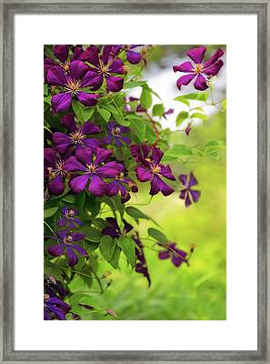 Copious Clematis Framed Print
