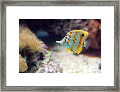 Framed Print featuring the photograph Copper-banded Butterfly Fish by Kathleen Stephens
