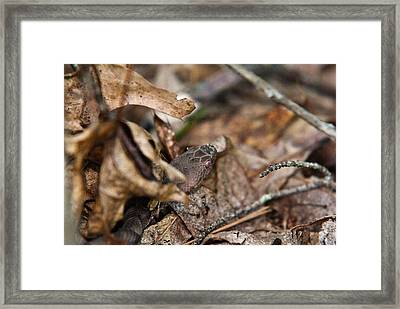 Copperhead 3 Framed Print by Douglas Barnett