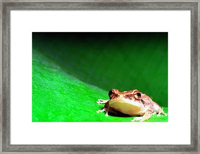 Coqui On Banana Leaf Framed Print by Thomas R Fletcher
