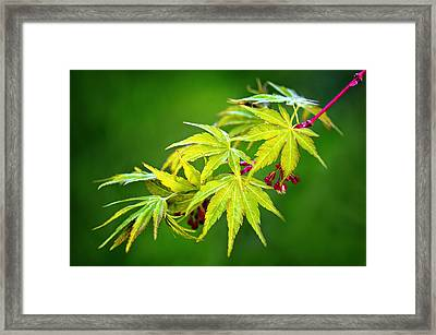 Coral Bark Japanese Maple In The Spring Framed Print