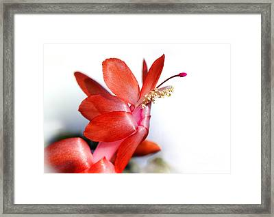 Coral Christmas Cactus With White Background Framed Print by Karen Adams