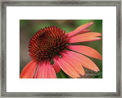 Coral Cone Flower Framed Print by Sabrina L Ryan