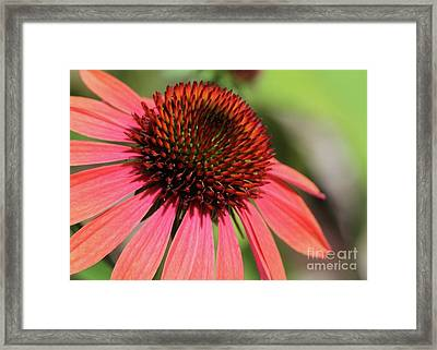 Coral Cone Flower Too Framed Print by Sabrina L Ryan