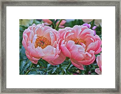 Coral Duo Peonies Framed Print