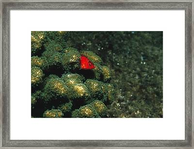 Coral Hawkfish Hiding In Coral Framed Print by James Forte