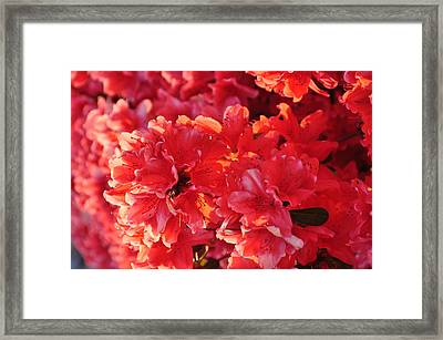 Coral Pink Azaleas Framed Print by Jan Amiss Photography