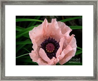 Coral Poppy 1 Framed Print