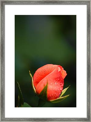 Coral Rose On Green Framed Print by Debbie Karnes