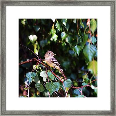 Cordilleran Flycatcher Framed Print