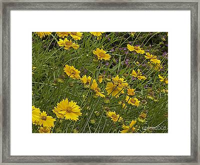 Framed Print featuring the photograph Coreopsis And Mexican Heather by Kerry Beverly