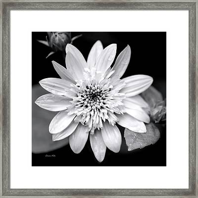 Framed Print featuring the photograph Coreopsis Flower Black And White by Christina Rollo