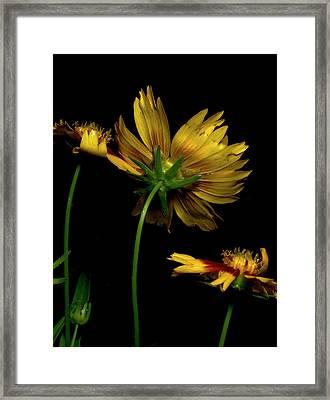 Coreopsis Tickseed Framed Print