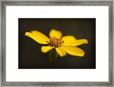 Coreopsis Verticillata Framed Print