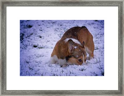Corgi Nose Plant In Snow Framed Print