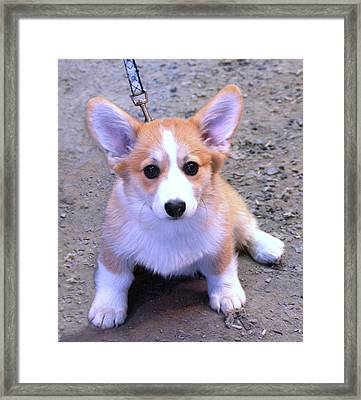 Corgi Puppy Framed Print