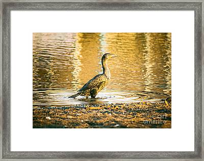Cormorant At Morning Framed Print