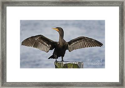 Cormorant Drying Out Framed Print by Inge Riis McDonald