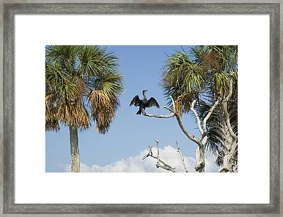 Cormorant Drying Framed Print by Stacey Lynn Payne