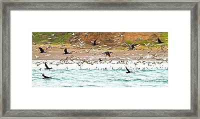 Cormorant Flight In Frenzy Framed Print by Gus McCrea